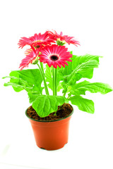 Pink gerbera in a pot