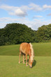 Pferd grast auf großer Weide