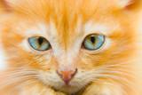 Fluffy red kitten poster