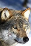 Wolf in Schweden