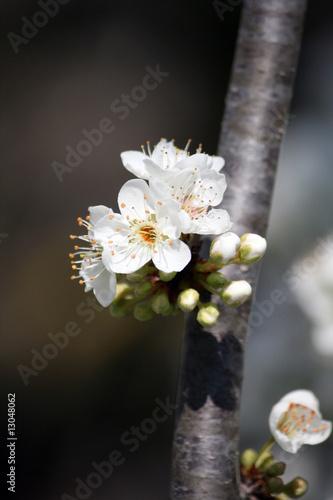 I fiori del pruno 20