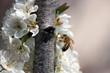 I fiori del pruno con ape 48