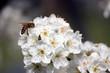 I fiori del pruno con ape 49