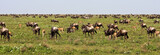 The Great Migration of Wildebeests in Serengeti poster
