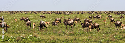 Poster Antilope The Great Migration of Wildebeests in Serengeti