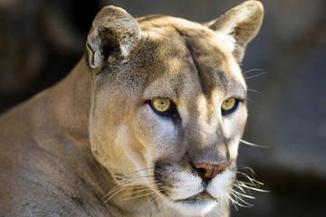 Intense Cougar