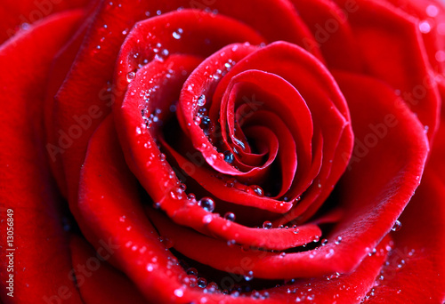 canvas print picture rose, blume