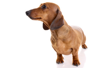 dachshund  isolated on white background