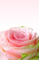 Pink rose with water drops background