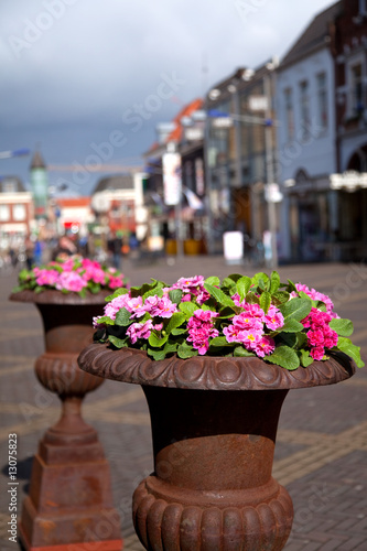 Primulas at the street