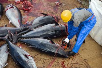 Japanese fishing ship crew cleaning Bluefin tunas