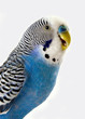 Talking blue wavy parrot. The Portrait.