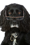 Shot of an Intelligent Looking Cocker Spaniel with Glasses poster