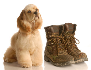 hunting dog - cocker spaniel sitting beside hunting boots