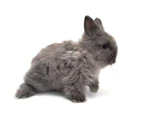 little Angora bunny #1