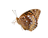 profile of great spangled fritillary on a white background