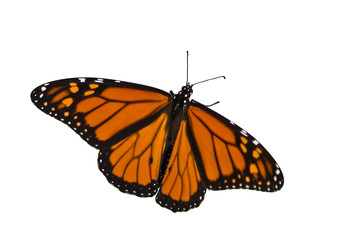 monarch butterfly spreading its wings on a white background