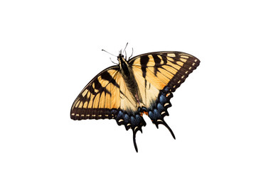 tiger swallowtail on a white background