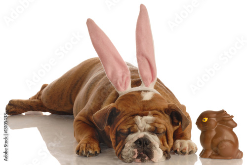bulldog dressed as easter bunny beside chocolate bunny