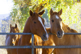 Horses in the pasture on a ranch poster