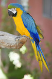 Blue and Yellow Macaw parrot sits on branch