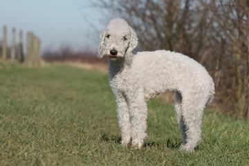 bedlington terrier blanc adulte de profil à la campagne