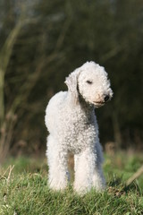 bedlington terrier adulte blanc debout de face