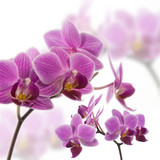 Orchidee - 13122631