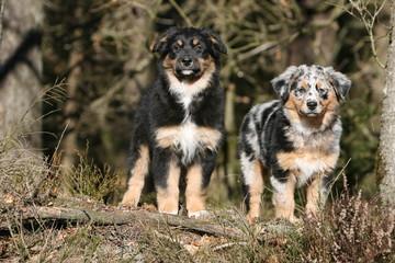 deux jolis chiots bergers australiens de face à la campagne