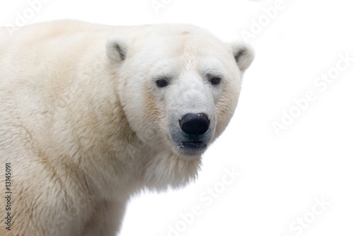 Spoed canvasdoek 2cm dik Antarctica 2 Polar bear isolated on white