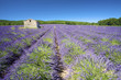 Fresh and bright Lavender fields in summer
