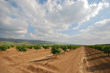 young orange grove in israel