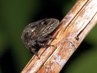 Centrotus cornutus L.