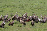 Vultures Feasting on Carrion in Serengeti poster