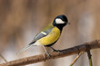 Parus major, Great Tit