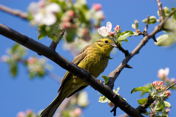 Emberiza citrinella, Yellowhammer