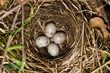 Nest (Emberiza citrinella, Yellowhammer)