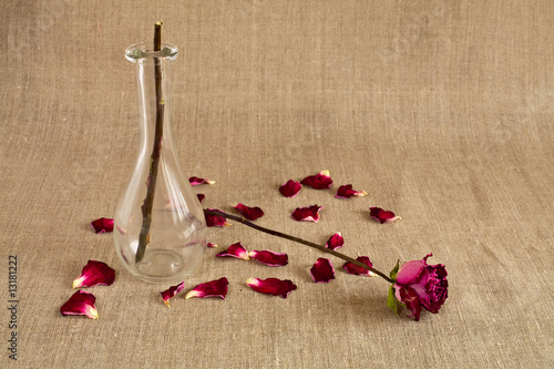 Broken rose with dropped petals