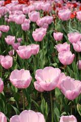 Tulip 'Pink Diamond' (Liliaceae Tulipa 'Pink Diamond')