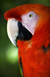 Scarlet Macaw Head Close Up Red Plumage Close Up poster