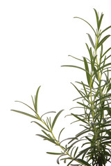 rosemary (rosmarinus officinalis) isolated on white