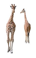 Somali Giraffe young couple cutout