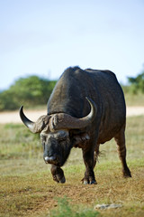 An old Buffalo Bull approaches the waterhole to drink