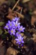 Hepatica (liverleaf) Flowers