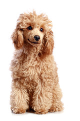 Apricot poodle puppy on white background