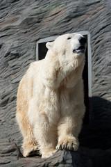 Old Polar Bear in  Zoo in Prague
