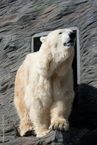 Old Polar Bear in  Zoo in Prague