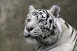 White Tiger Close Up Portrait