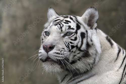 White Tiger Zamknij Portret