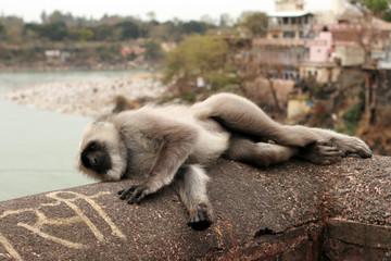 Resting monkey